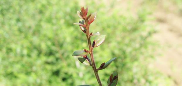 栽培中のハナヘナ