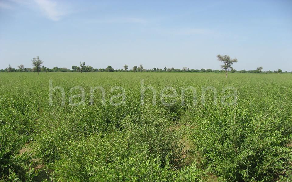 インドラジャスタン地方のヘナの畑